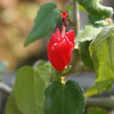 Kryty bonsai - hibiskus drobnokwiatowy PB22095 - 2