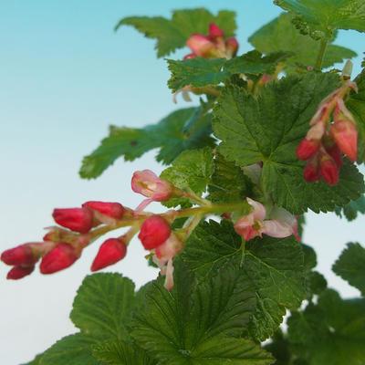 Outdoor bonsai - Porzeczka - Ribes sanguneum VB2020-781 - 2