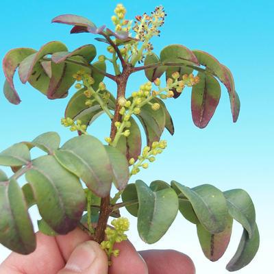Pokojowe pistacje bonsai - 2