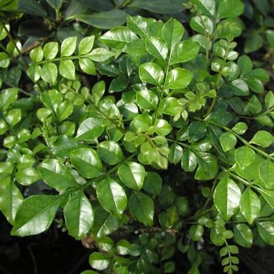 Bonsai pokojowe - Fraxinus uhdeii - popiół pokojowy - 2
