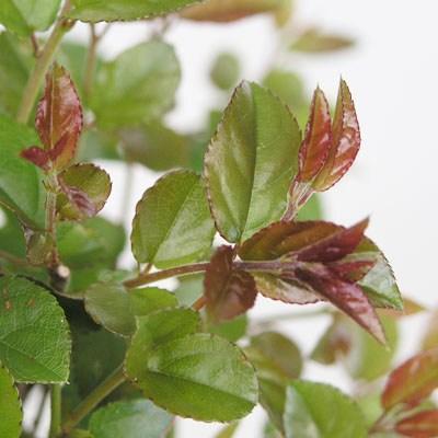 Kryty bonsai - Sagerécie thea - Sagerécie thea - 2