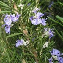 Room bonsai - Rosemary-Rosmarinus officinalis - 2