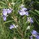 Room bonsai - Rosemary-Rosmarinus officinalis - 2/3