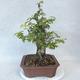 Outdoor bonsai-Ulmus Glabra-Solid Clay - 3/5