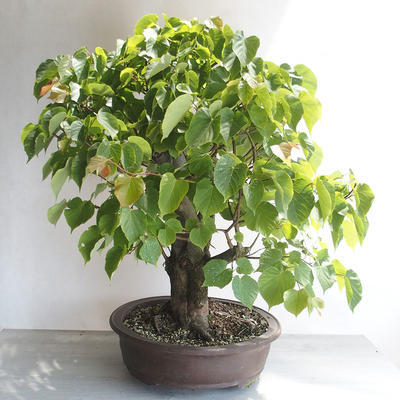 Outdoor bonsai - Lipa - Tilia cordata - 3
