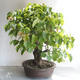 Outdoor bonsai - Lipa - Tilia cordata - 3/5
