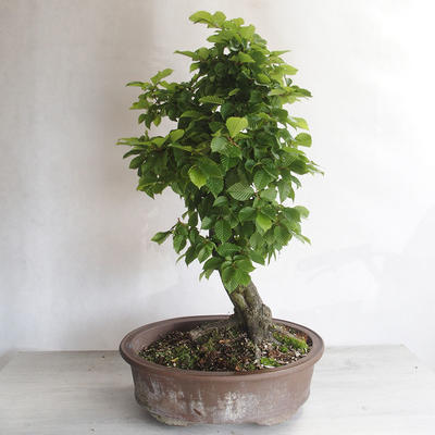 Outdoor bonsai - Grab - Carpinus betulus - 3
