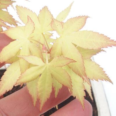 Outdoor bonsai - Acer pal. Sango Kaku - klon palmowy - 3