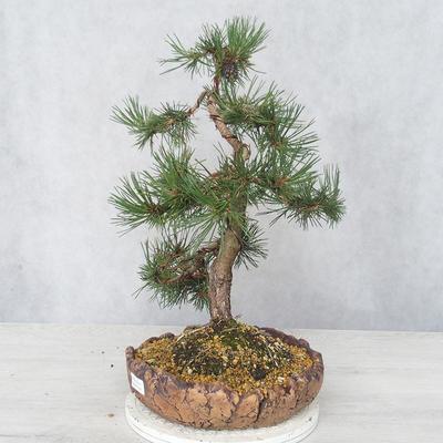 Outdoor bonsai - Pinus Mugo - Sosna klęcząca - 3