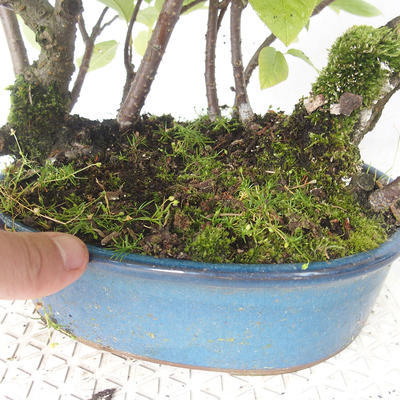 Outdoor bonsai - czeremcha - Prunus padus - 3