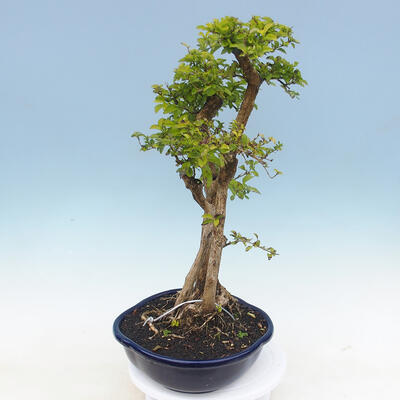 Bonsai do wnętrz - Duranta erecta Aurea - 3