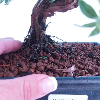 Outdoor bonsai krzew -Mochna - Potentilla fruticosa - 3