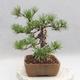 Outdoor bonsai - Pinus sylvestris - Sosna zwyczajna - 3/4