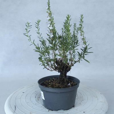 Outdoor bonsai - góra Satureja - Satureja montana - 3