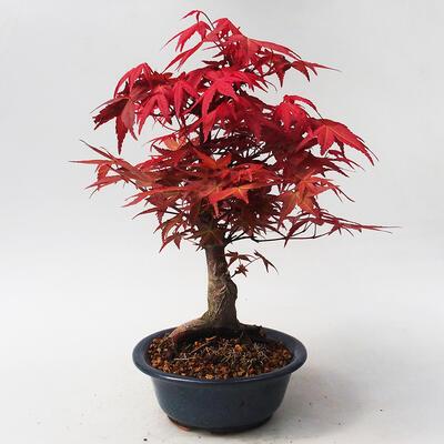 Outdoor bonsai - Klon palmatum DESHOJO - Klon japoński - 3
