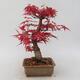 Outdoor bonsai - Klon palmatum DESHOJO - Klon japoński - 3/5