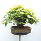 Bonsai ogrodowe - Grab - Carpinus betulus - 3/5