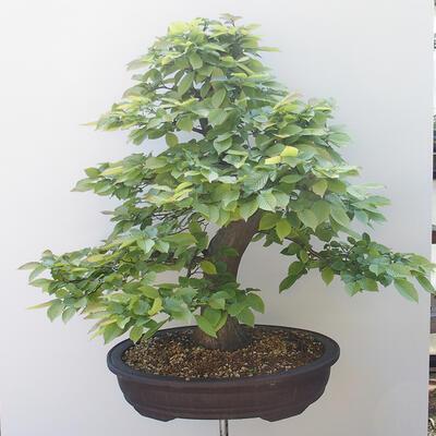 Bonsai ogrodowe - Grab - Carpinus betulus - 3