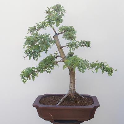 Bonsai na zewnątrz - Hawthorn - 3