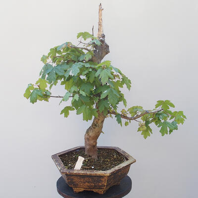 Acer campestre - Baby Maple - 3
