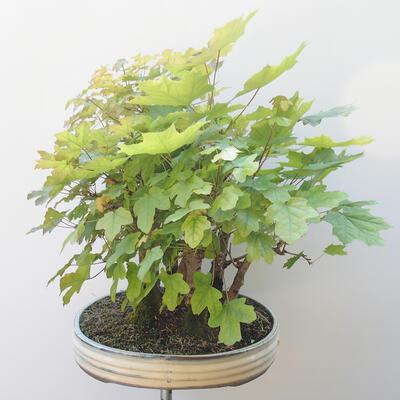 Acer campestre, acer platanoudes - Baby klon, klon - 3