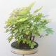 Acer campestre, acer platanoudes - Baby klon, klon - 3/4