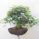 Acer campestre - Baby Maple - 3/5