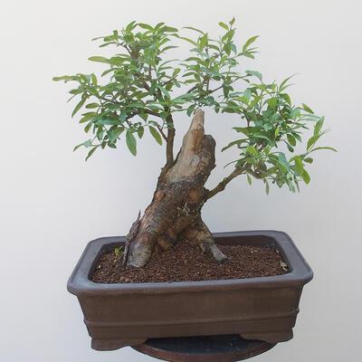 Bonsai zewnętrzne - dziób ptaka Ligustrum - 3