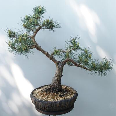 Bonsai ogrodowe - Pinus sylvestris Watereri - sosna zwyczajna - 3