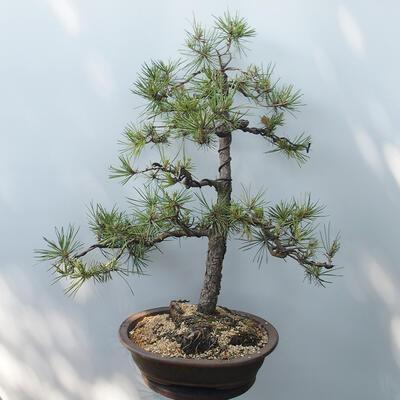 Bonsai ogrodowe - Pinus sylvestris - sosna zwyczajna - 3