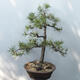 Bonsai ogrodowe - Pinus sylvestris - sosna zwyczajna - 3/4