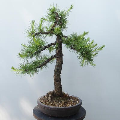 Bonsai zewnętrzne - Larix decidua - Modrzew - 3