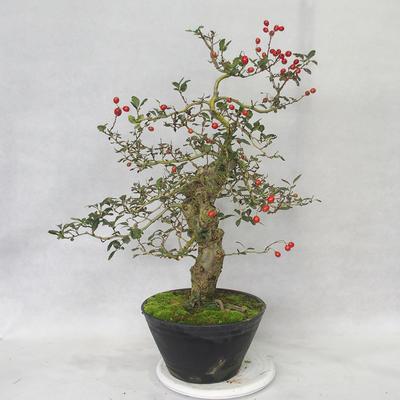 Outdoor bonsai - głogowe białe kwiaty - Crataegus laevigata - 3