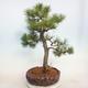 Outdoor bonsai - Pinus sylvestris - Sosna zwyczajna - 3/5