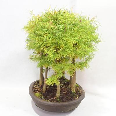 Outdoor bonsai - Pseudolarix amabilis - Pamodřín - gaj z 9 drzewami - 3