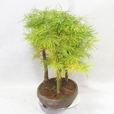 Outdoor bonsai - Pseudolarix amabilis - Pamodřín - gaj z 5 drzewami - 3