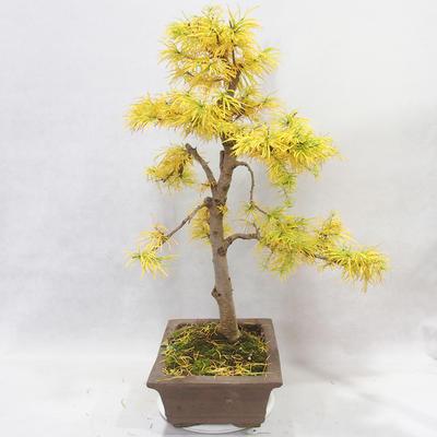 Outdoor bonsai - Pseudolarix amabilis - Pamodřín - 3