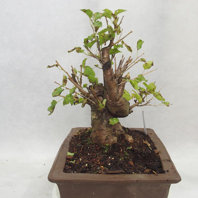Outdoor bonsai -Mahalebka - Prunus mahaleb - 3