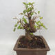 Outdoor bonsai -Mahalebka - Prunus mahaleb - 3/5