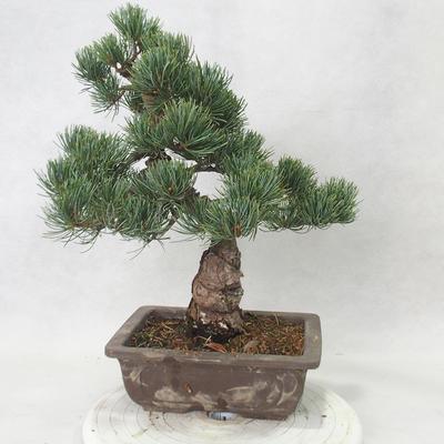 Outdoor bonsai - Pinus parviflora - Sosna drobnokwiatowa - 3