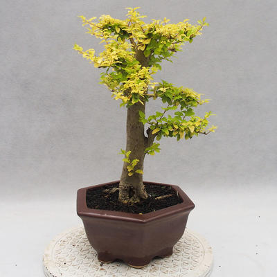 Indoor bonsai -Ligustrum Aurea - dziób ptaka - 3