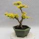 Indoor bonsai -Ligustrum Aurea - dziób ptaka - 3/5