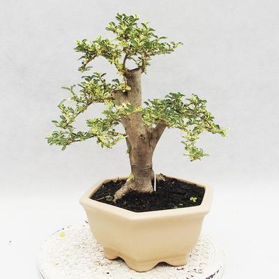 Indoor bonsai -Ligustrum Variegata - dziób ptaka - 3