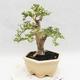 Indoor bonsai -Ligustrum Variegata - dziób ptaka - 3/6