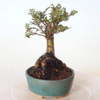 Bonsai zewnętrzne - Ulmus parvifolia SAIGEN - Wiąz drobnolistny - 3