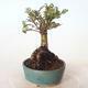 Bonsai zewnętrzne - Ulmus parvifolia SAIGEN - Wiąz drobnolistny - 3/5