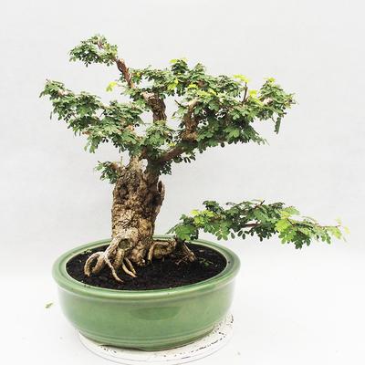 Kryty bonsai -Phyllanthus Niruri- Smuteň - 3