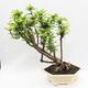 Kryty bonsai -Phyllanthus Niruri- Smuteň - 3/5