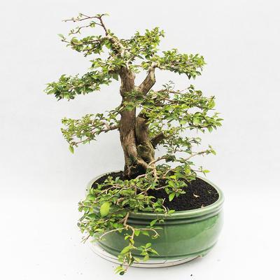 Bonsai do wnętrz - Cudrania equisetifolia - 3
