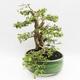 Bonsai do wnętrz - Cudrania equisetifolia - 3/5